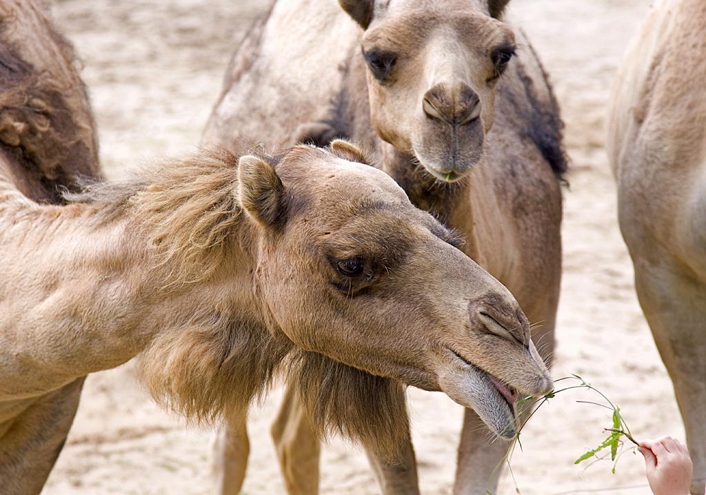 stockvault-camels115319
